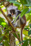 Zanzibar Red Colobus - Piliocolobus kirkii, Tanzania, Zanzibar. African Red Colobus relaxing on the tree in Zanzibar forest Royalty Free Stock Photo