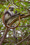 Zanzibar Red Colobus - Piliocolobus kirkii, Tanzania, Zanzibar. African Red Colobus relaxing on the tree in Zanzibar forest Stock Image