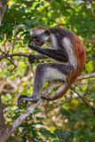 Zanzibar Red Colobus - Piliocolobus kirkii, Tanzania, Zanzibar. African Red Colobus relaxing on the tree in Zanzibar forest Stock Images