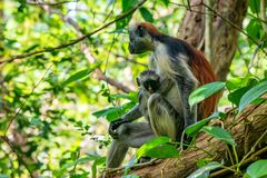 Zanzibar red colobus or Procolobus kirkii Stock Images