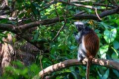 Zanzibar red colobus or Procolobus kirkii. In Jozani forest, Tanzania. Monkeys in the jungle Stock Photos