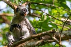 Zanzibar red colobus or Procolobus kirkii. In Jozani forest, Tanzania. Monkeys in the jungle Stock Photography