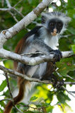 A Zanzibar Red Colobus Royalty Free Stock Photo