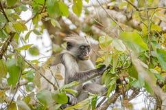 Zanzibar Red colobuses  in Jozani Forest on Zanzibar Stock Photo