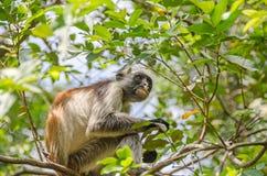 Zanzibar Red colobuses  in Jozani Forest on Zanzibar Stock Images