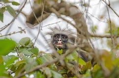 Zanzibar Red colobuses  in Jozani Forest on Zanzibar Stock Photos