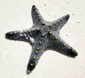 Zanzibar starfish. Starfish. Beach of eastern part of Zanzibar Royalty Free Stock Images
