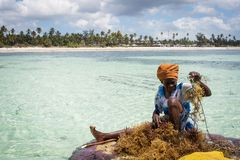 Zanzibar, Tanzania - September 12, 2015: Woman working the seaweed agriculture in middle of water surounded with beautiful stock image