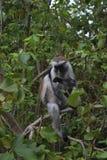 Zanzibarian Czerwony Colobus, endemiczna małpa Zdjęcie Stock
