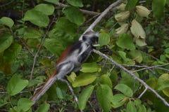 Zanzibarian röd Colobus, endemiskapa Arkivfoto