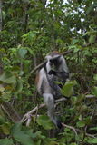 Zanzibarian Red Colobus, endemic monkey. Zanzibarian endemic monkey Red Colobus (Procolobus kirkii) in Jozani National Park stock photo