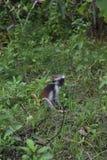 Zanzibarian Rode Colobus, endemische aap Stock Afbeeldingen