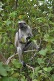 Zanzibarian Rode Colobus, endemische aap Royalty-vrije Stock Foto's