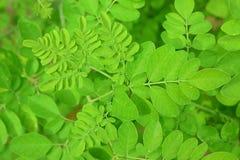 Zaokrągleni liście oleifera Moringa zdjęcia stock