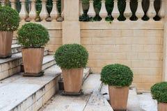 Zaokrąglonego zielonego krzaka drzewny garnek na schodkach z ścianą obrazy royalty free
