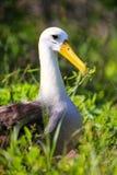 Zaondulowany albatros na Espanola wyspie, Galapagos park narodowy, Ecu zdjęcie royalty free