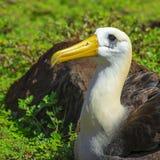Zaondulowany albatros na Espanola wyspie, Galapagos zdjęcia stock