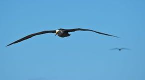 Zaondulowany albatros w locie przy española na Galapagos obraz royalty free