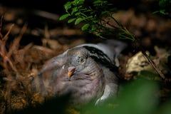 Zaopatruje gołąbki, relaksuje, ptak, portret zdjęcie royalty free