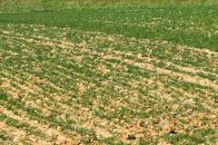 Zaorany wiosny pole z odrośniętą zieloną banatką Agroindustrial gospodarka Sektor rolniczy gospodarka Strategiczny naturalny reso Zdjęcia Royalty Free