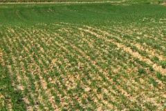Zaorany wiosny pole z odrośniętą zieloną banatką Agroindustrial gospodarka Sektor rolniczy gospodarka Strategiczny naturalny reso Obrazy Royalty Free