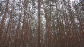 Zapętlający opad śniegu w pięknym sosnowym zima lesie zbiory