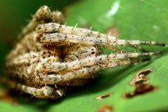Zapadać w sen zimowy pająka Obrazy Stock