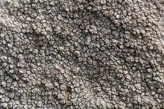 Zapadnięty talerzowy liszaj Aspicilia calcarea obrazy royalty free