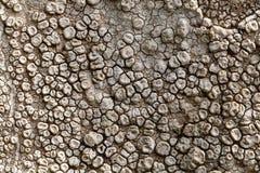 Zapadnięty talerzowy liszaj Aspicilia calcarea obrazy stock