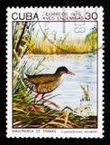 Zapata路轨Cyanolimnas cerverai,土产鸟serie,古巴大约1975年 免版税图库摄影