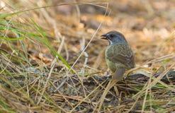 Zapata Sparrow feeding on the ground Royalty Free Stock Image