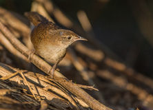 The Zapata Wren. (Ferminia cerverai) is an extreme endemism as it can only be found at the Island of Cuba and there only in a part of the Zapata swamps. It is a royalty free stock images