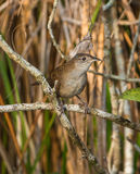 The Zapata Wren. (Ferminia cerverai) is an extreme endemism as it can only be found at the Island of Cuba and there only in a part of the Zapata swamps. It is a stock photography