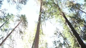 Zapina widok bagażniki i korony drzewa w wiosna lesie przeciw niebieskiemu niebu z słońcem footage Zieleń zbiory wideo
