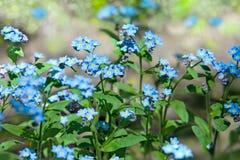 Zapomina ja Nie kwiaty, zakończenie Zdjęcie Stock