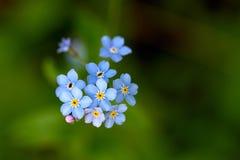 Zapomina ja up nie, mali błękitni kwiaty w lasu zakończeniu Odgórny v Zdjęcie Stock