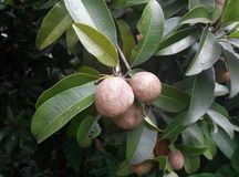 Zapota de Manilkara (fruit de Ciku dans le Malais) Photographie stock