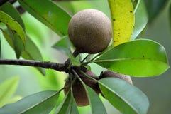 Zapota oder Sapotillbaum Stockfotografie