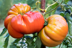 Zapotec pleated heirloom tomatoes growing in the garden. Zapotec pleated heirloom tomatoes growing on a bush in the garden Stock Photo