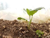 Zappa del suolo della terra dell'alimento delle foglie di agricoltura della melanzana Fotografia Stock