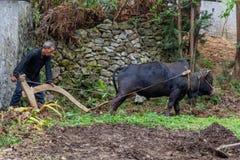 Zappando con una mucca Vietnam fotografia stock libera da diritti