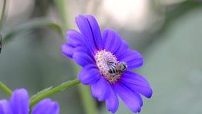 Zapylanie Miodową pszczołą zbiory
