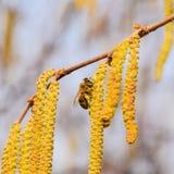 Zapylanie pszczoła kolczyków hazelnut Kwiatonośnej leszczyny hazelnut obraz stock