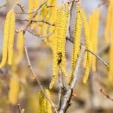 Zapylanie pszczoła kolczyków hazelnut Kwiatonośnej leszczyny hazelnut fotografia royalty free