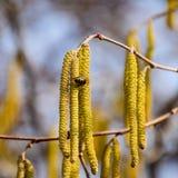 Zapylanie pszczoła kolczyków hazelnut Kwiatonośnej leszczyny hazelnut fotografia stock