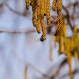 Zapylanie pszczoła kolczyków hazelnut Kwiatonośnej leszczyny hazelnut zdjęcia stock