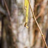 Zapylanie pszczoła kolczyków hazelnut Kwiatonośnej leszczyny hazelnut obrazy stock