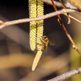 Zapylanie pszczoła kolczyków hazelnut Kwiatonośnej leszczyny hazelnut obraz royalty free