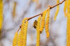 Zapylanie pszczo?a kolczyk?w hazelnut Kwiatono?nej leszczyny hazelnut zdjęcie royalty free