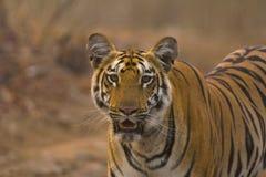 Zara Tiger, Panthera le Tigre le Tigre, réserve naturelle de Tipeshwar, maharashtra image libre de droits